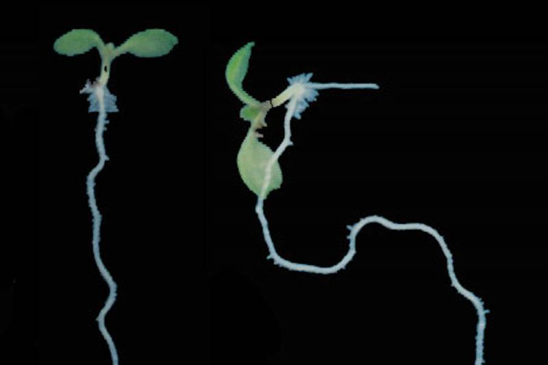 Plant roots began following gravity 350 million years ago