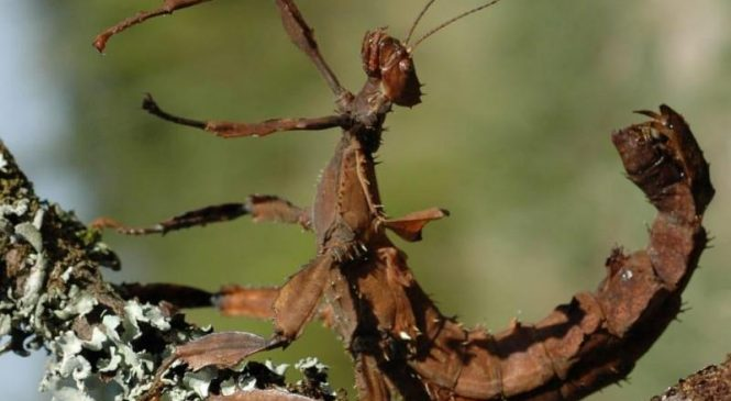 Birds, mammals drove camouflage adaptations of stick, leaf insects