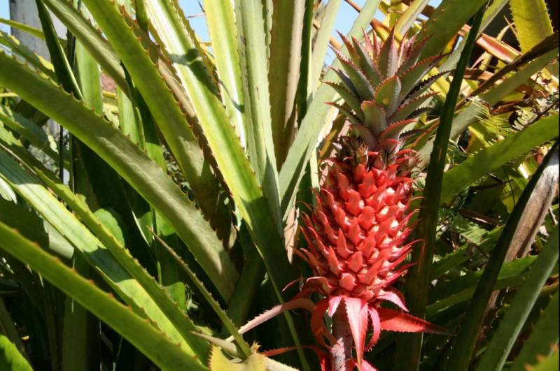 Pineapple genome offers insights into plant domestication process