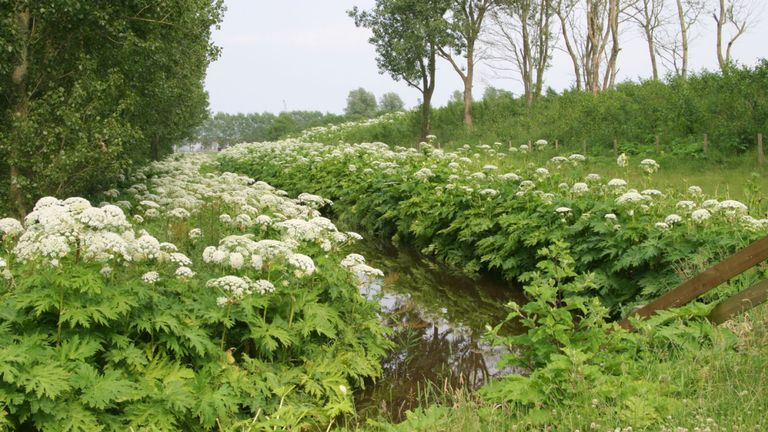 Giant hogweed causes skin rashes and blistering