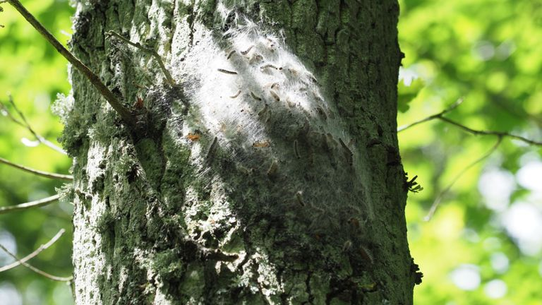 Oak Processionary Moth Caterpillars cause native ash trees to die