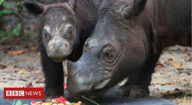 Malaysia's last known Sumatran rhino dies