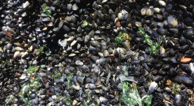 Infectious cancer affecting mussels spread across the Atlantic