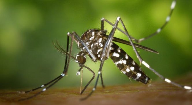 Mosquito courting strategies could inspire quieter drones