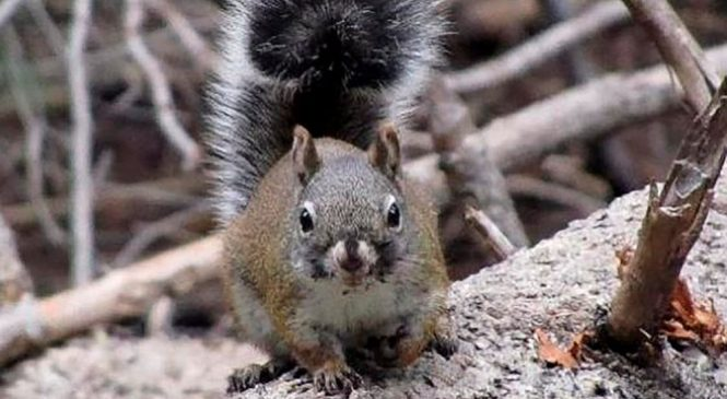 Survey finds gain in endangered red squirrel population