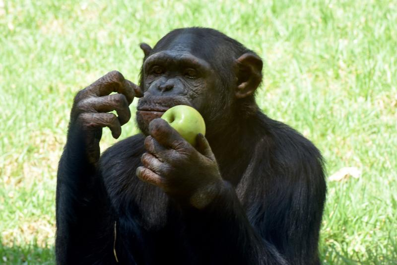 Chimpanzees likely to share tools, teach skills when task is more complex