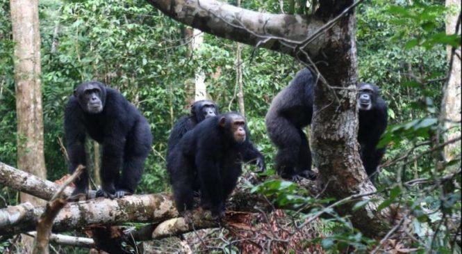 Territorial conflicts suppress female chimpanzees' reproductive success