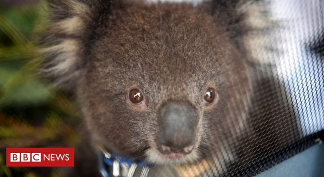 Koalas found dead on Australia logging plantation