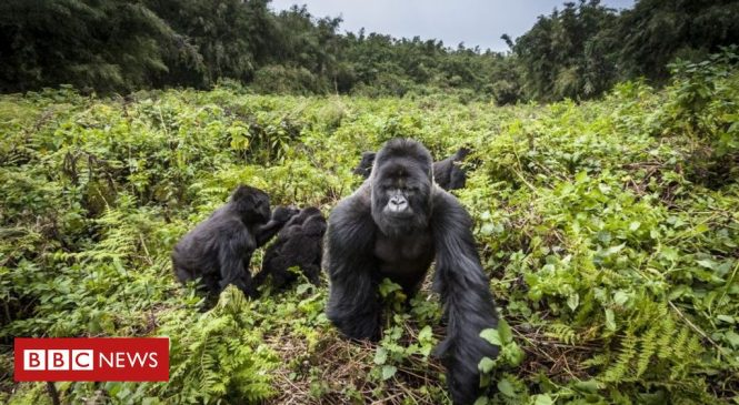 Four rare mountain gorillas 'die in Uganda lightning strike'