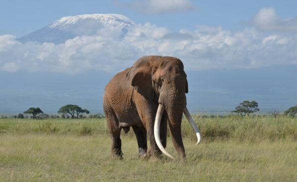 Tim, one of Africa's last big tusker elephants, dies at 50