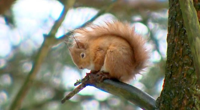 Red squirrels sniff out danger better than greys