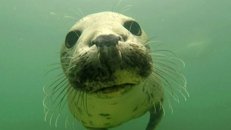 Wild grey seal caught clapping on camera for first time