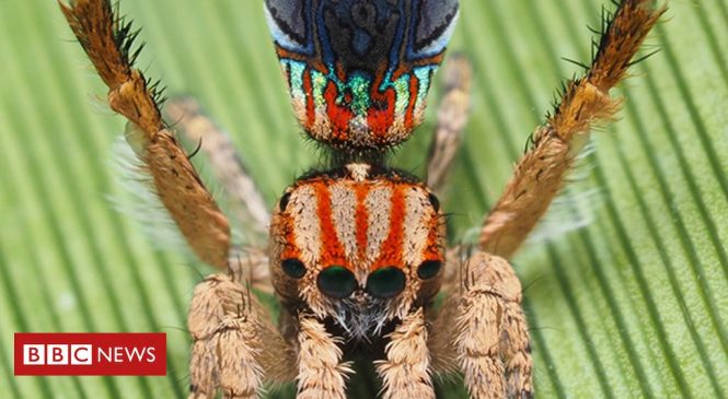 Peacock spiders show more of their colours