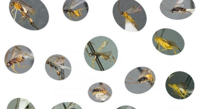 Scientists catalogue thousands of parasitic wasps in new monograph