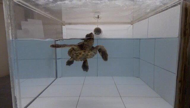 To sea turtles, stinky plastic smells like food