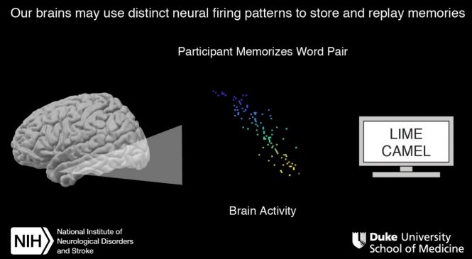 Neuroscientists watch brains replay memories in real time
