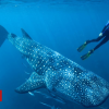 Whale sharks: Atomic tests solve age puzzle of world's largest fish