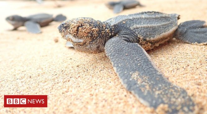 10 years to save 'world's most threatened sea turtle'