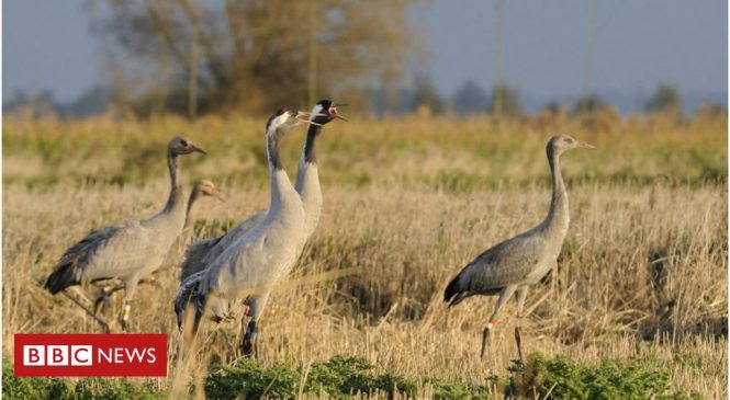 Cranes make comeback in Britain's wetlands
