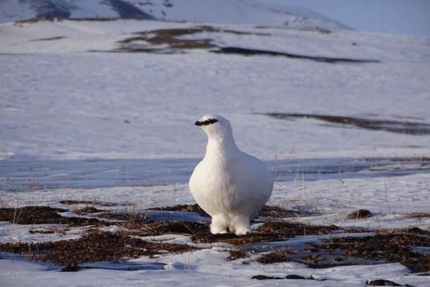 Arctic bird turns down immune system to conserve energy in winter