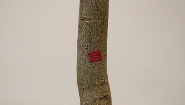 """Microneedle device could deliver """"life-saving"""" treatment to diseased fruit plants"""