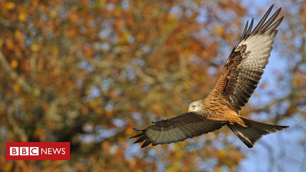 'Surge' in illegal bird of prey killings since lockdown