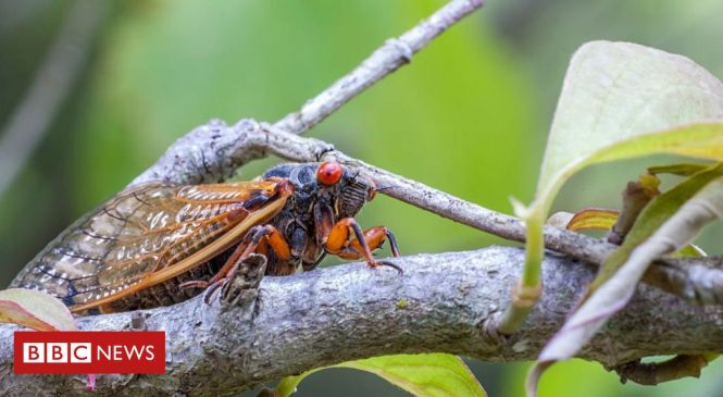 Millions of periodical cicadas to emerge in parts of US
