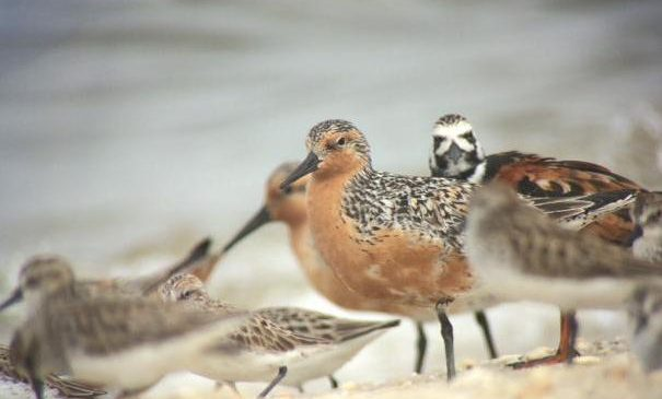 Oyster farming has a limited impact on vulnerable shorebirds