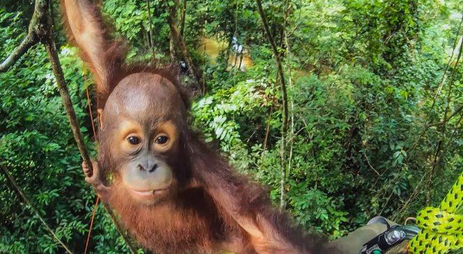 Meet the baby orangutans learning to climb trees