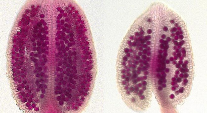 Scientists find gene that reduces a plant's pollen count