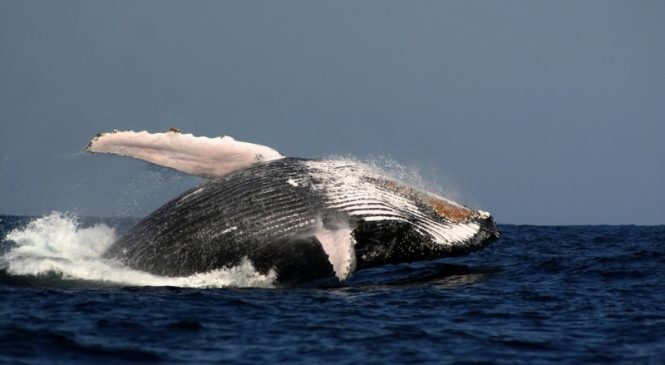 Whales are disturbed by engine noise from whale watching boats