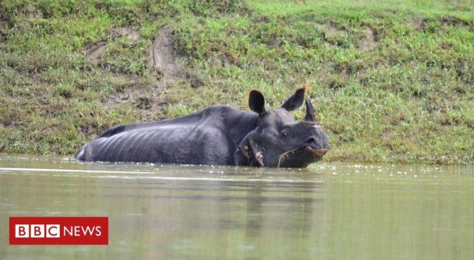 Assam flooding: Several rare rhinos die in India's Kaziranga park