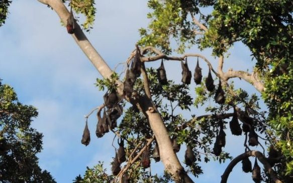 Incredible mobility of flying foxes complicates conservation efforts
