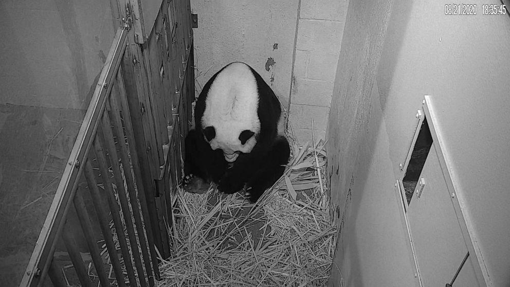 'The whole world celebrates' on-camera birth of panda cub