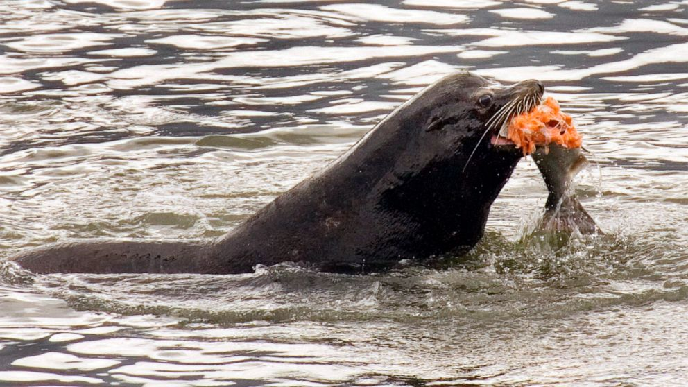US allows killing sea lions eating at-risk Northwest salmon