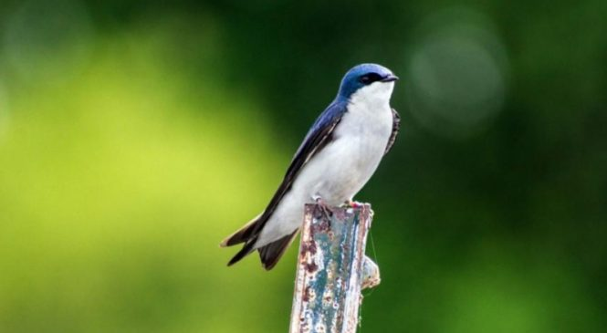 Birds breeding earlier in response to climate change may be putting themselves at risk