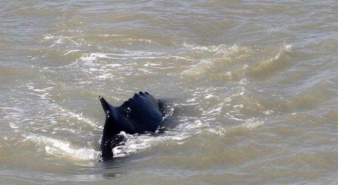 Whale swims free of crocodile-filled Australian river