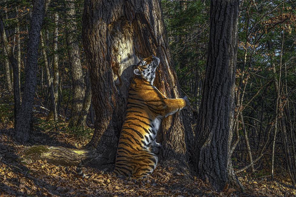 Hidden camera's hugging tiger wins wildlife photo award
