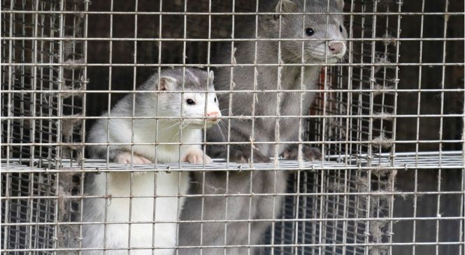 What's the science behind mink and coronavirus?