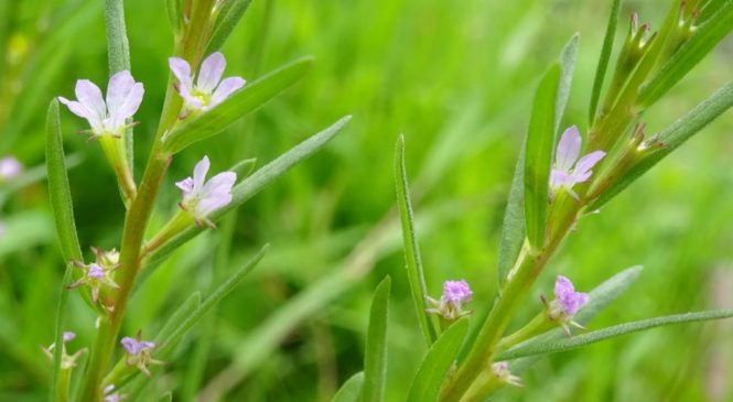 Surprise discovery of rare plant at Norfolk 'ghost pond'
