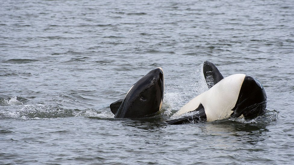 Mother killer whale (orca) with baby