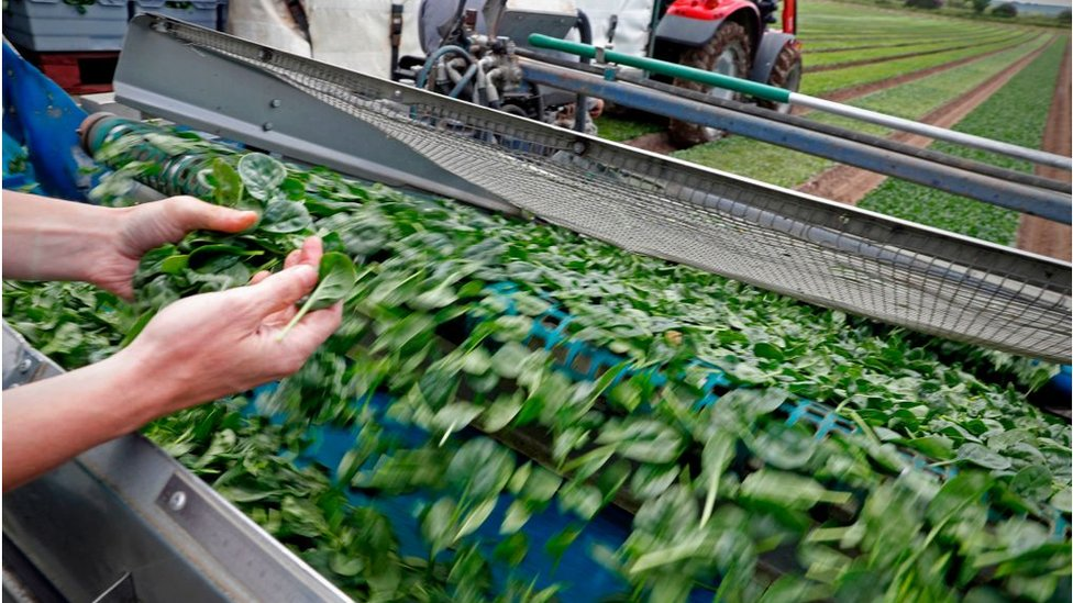 Spinach sorting