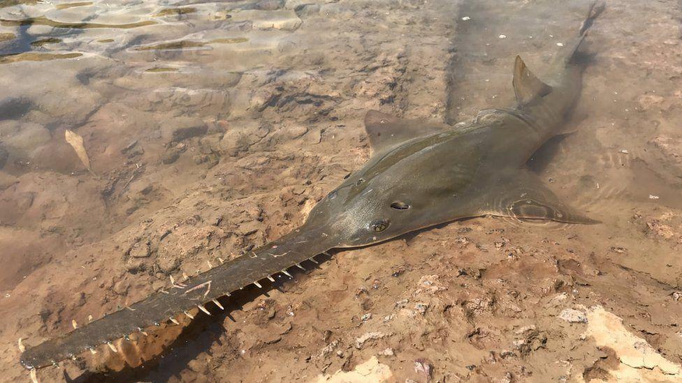 'Hedge trimmer' fish facing global extinction