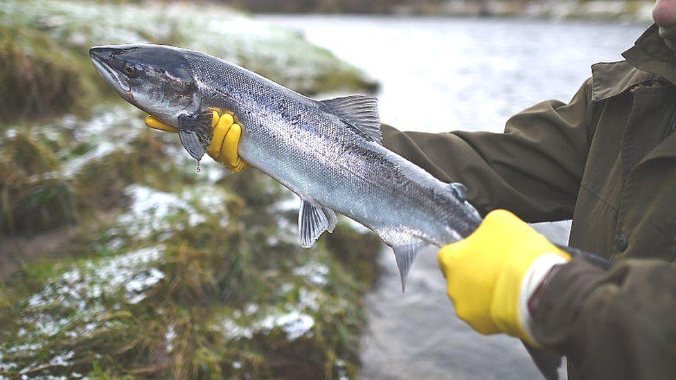 Salmon in a Scottish river