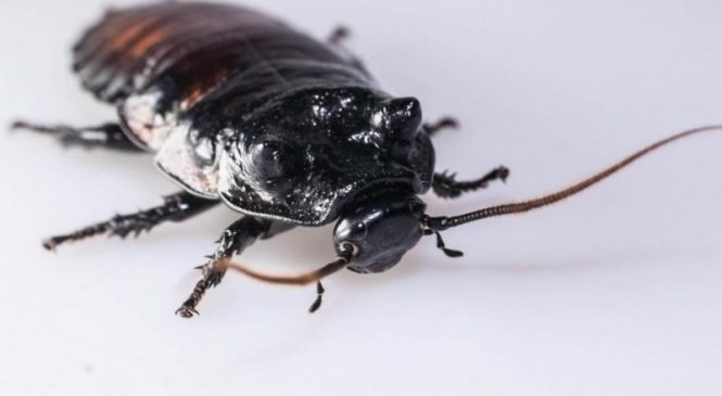 In cockroach fights, bet on the roach with the bigger respiratory system