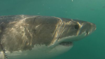 Where are Cape Town's great white sharks?