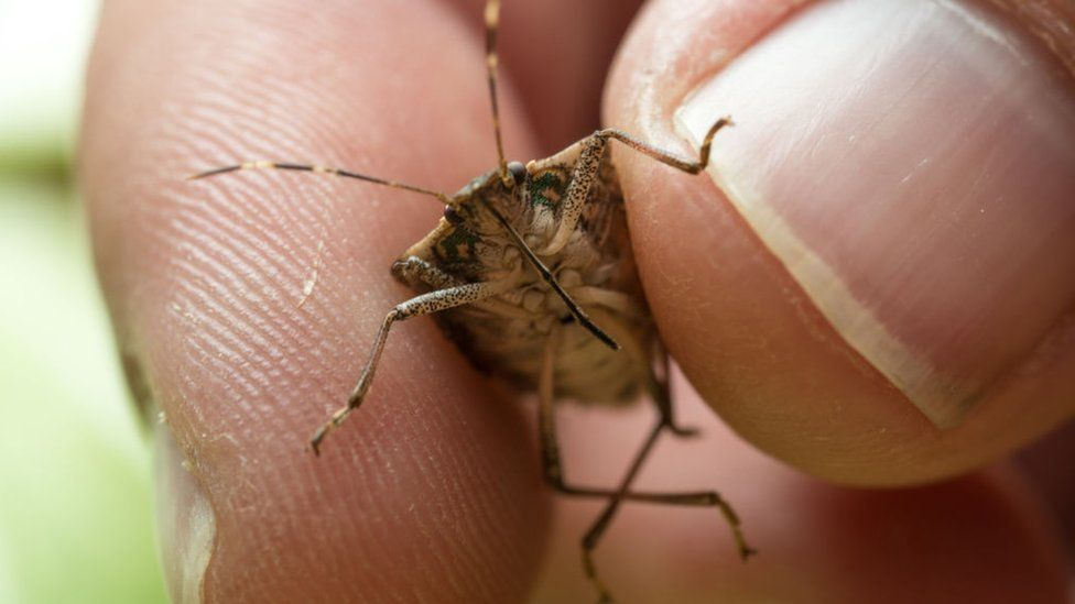 Brown stink bug among 'future threats' to gardens