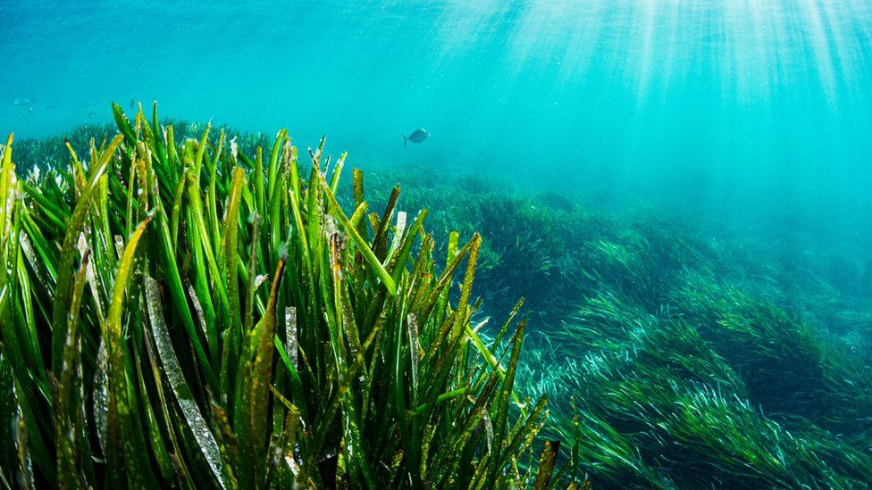Climate change: 'Forever plant' seagrass faces uncertain future