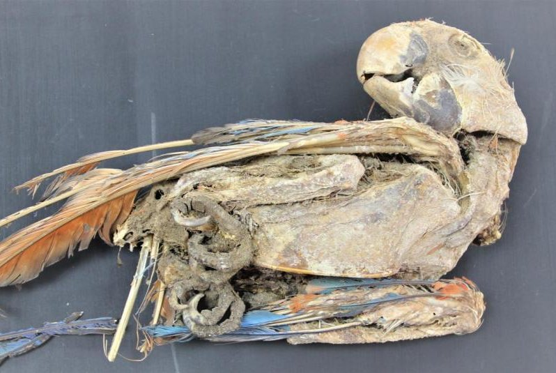 Mummified parrots suggest ancient trade routes crossed South American desert