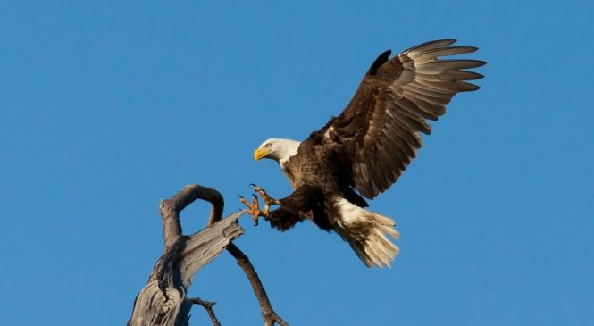 Survey finds 82% of dead eagles with rat poison in their systems